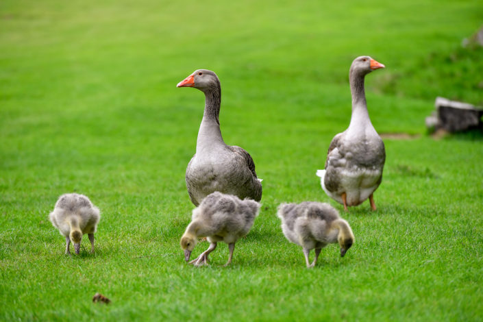 Photography of mountain geese in Chamonix Mont Blanc