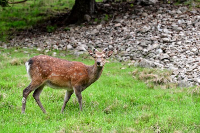 Photography of mountain deer in Chamonix Mont Blanc