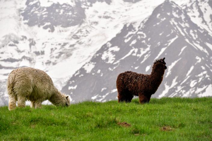 Photography of mountain Lama in Chamonix Mont Blanc